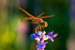 Dragonfly on blue flower - stock photo