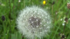 Dandelion bloom moves airflow, preparing the launch of seeds over verdant field - stock footage