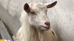 White goat who licks his lips a Stock Footage
