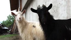 Goat white and black goat look closely at what is happening around Stock Footage