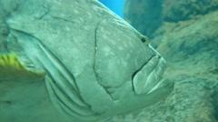 Underwater close shot of huge jack fish Stock Footage