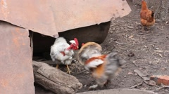 Stock Video Footage of a fight roosters