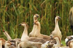 Flock of brownish domestic geese standing together at bio farm Stock Photos