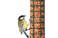 isolated hungry great tit ( Parus major ) hanging on peanut feeder for birds - stock photo