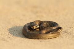 Juvenile grass snake on sandy beach ( Natrix natrix ) Stock Photos