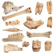 Isolated collection of different animal bones, over white background; these a Stock Photos