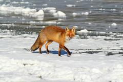 wild red fox on ice ( Vulpes vulpes ); this animal came at a hunting game cal - stock photo
