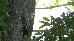 Pileated Woodpecker On Tree Stock Footage