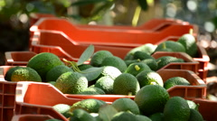 Avocado boxes in plantation with avocados fruit just harvested Stock Footage