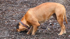 English Mastiff dog breed Stock Footage