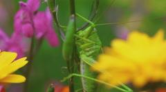 Green grasshopper on Aquilegia Stock Footage
