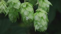Ripe hop cones in the hop garden - stock footage