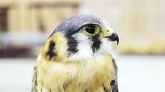 Lanner falcon, Falco biarmicus, medium size bird of prey close up shot Stock Footage