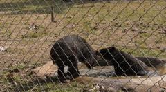 Bear poaching water in open zoo. Stock Footage