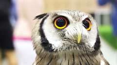 Close up shot of Small Northern white-faced owl. Beautiful yellow shiny eyes Stock Footage