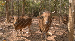 Banteng in cage at open zoo. Stock Footage