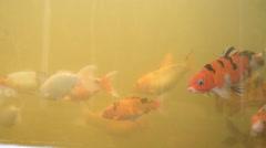 Fish carp swimming in aquarium. Stock Footage