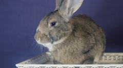 Rabbit Decorative breed rabbits - stock footage