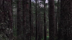 Deep Forest Tall Trees Trunk and Bark Dolly Right 4K Stock Footage