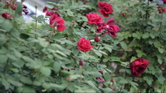 Beautiful red rose bush with roses, shallow DOF, tilt up Stock Footage
