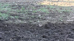 a man digging with a shovel bayonet - stock footage