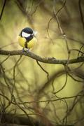 Tiny Blue tit on a feeder in a garden, hungry during winter (lat. Parus caeru Stock Photos