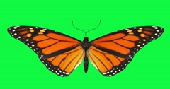 Blue butterfly animation green screen Spring butterfly's wing flight wings. Flyi - stock footage