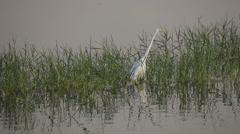 White Heron on a Man Sagar Lake Stock Footage