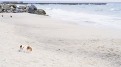 Dog brings ring toy to his master on the beach slow motion Stock Footage