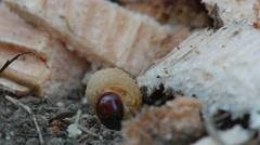 Larva of bark burrow beetle on the ground Stock Footage