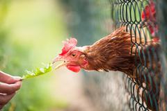 Hen in a farmyard (Gallus gallus domesticus) Stock Photos
