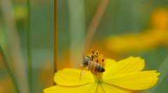 Honey bee collect nectar from cosmos flower Stock Footage