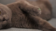 British cat - stock footage