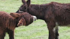 Two donkeys maintaining their fur. - stock footage