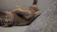 British cat Stock Footage