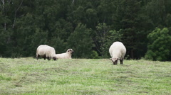 Several sheep grazing in the meadow on the green forest background. Stock Footage