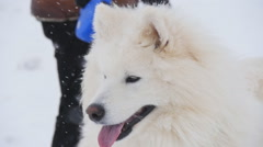 Samoyed in the winter Stock Footage