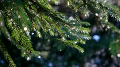 Sparkling drops of water flow down from the branches in the green forest. Stock Footage