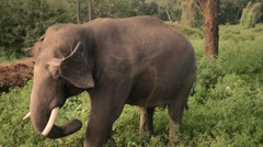 Elephant standing on grass Stock Footage