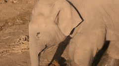 Young elephant searching with his proboscis on ground Stock Footage