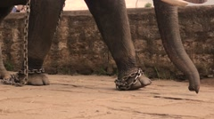 Elephant walking in shackles - stock footage