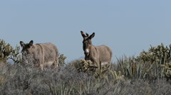 Wild Burros in the Mojave Desert Stock Footage