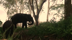 Elephants walking through forest Stock Footage