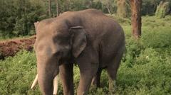 Nervous big elephant - stock footage