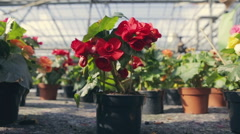 Young gardener chooses flowerpot with red flowers and examines it. Shooting with Stock Footage
