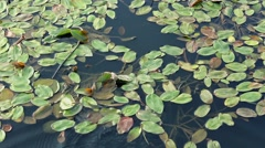 Swamp lily Stock Footage