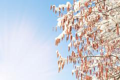 Morning sun beams and spring warming on catkins and snow Stock Photos