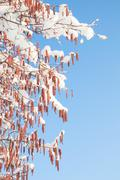 Melting snow on birch or alder catkins against spring sky Stock Photos