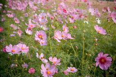 Cosmos flower blossom in garden Stock Photos