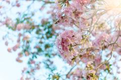 Tabebuia rosea is a Pink Flower neotropical tree - stock photo